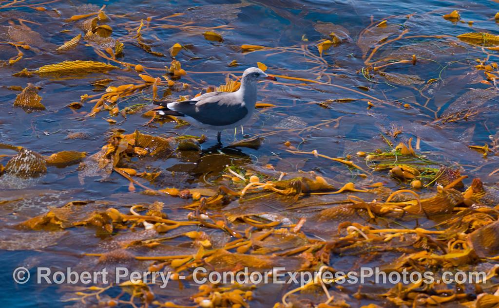 A Heermann's gull (<em>Larus heermanni</em>) rests on an open ocean drifting giant kelp paddy (<em>Macrocystis pyrifera</em>).