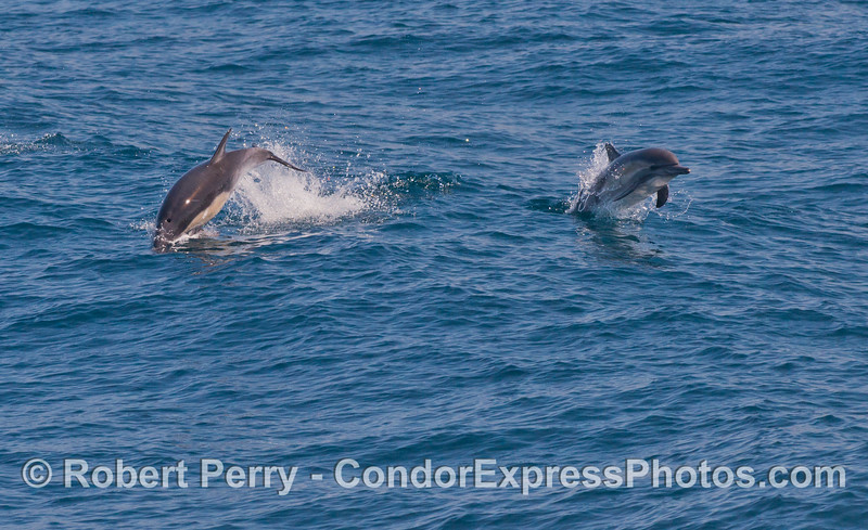 Two leaping long-beaked common dolphins (<em>Delphinus capensis</em>).