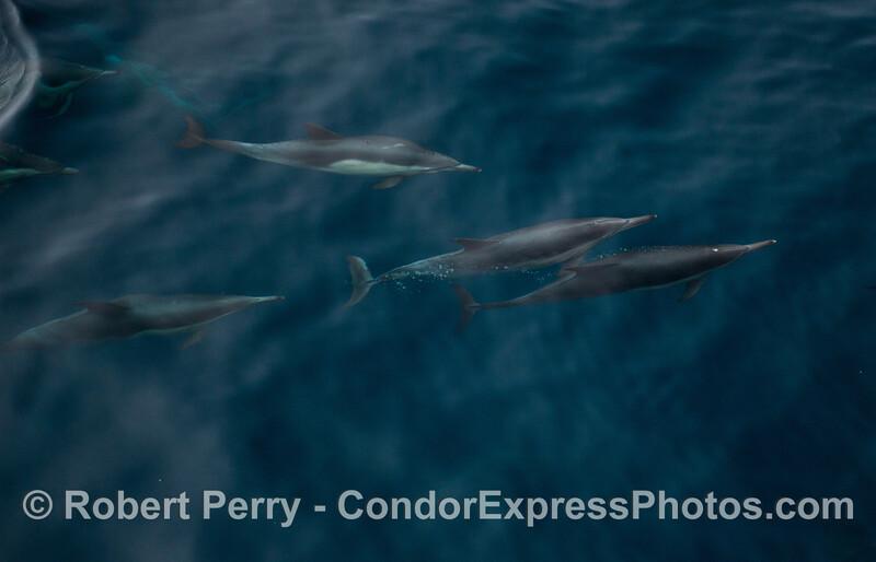 Delphinus capensis 2012 09-17 SB Channel-a-028