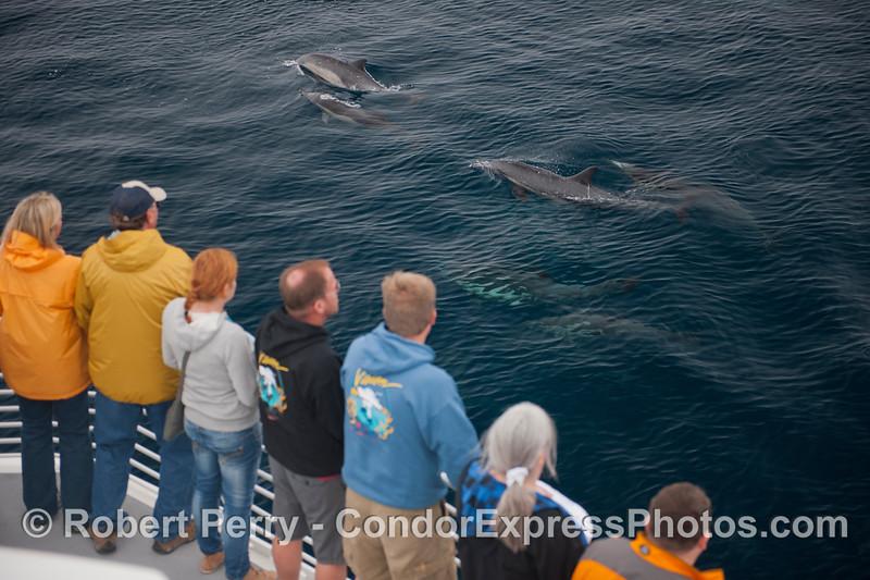 Delphinus capensis & passengers 2012 09-17 SB Channel-a-090