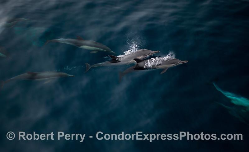 Delphinus capensis 2012 09-17 SB Channel-a-029