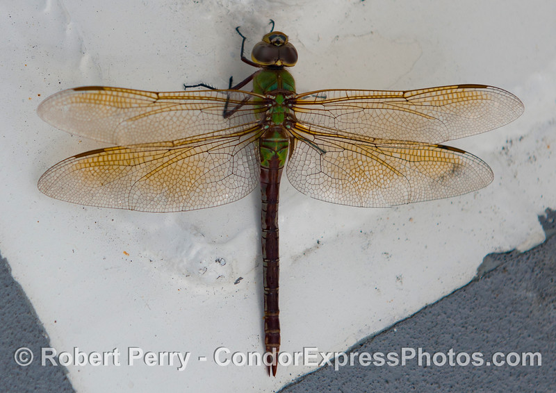 Dragon fly 2012 09-22 SB Channel-a-006