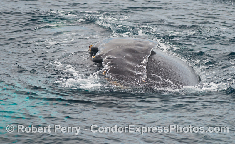 More rolling around by Rope, the humpback whale (<em>Megaptera novaeangliae</em>).