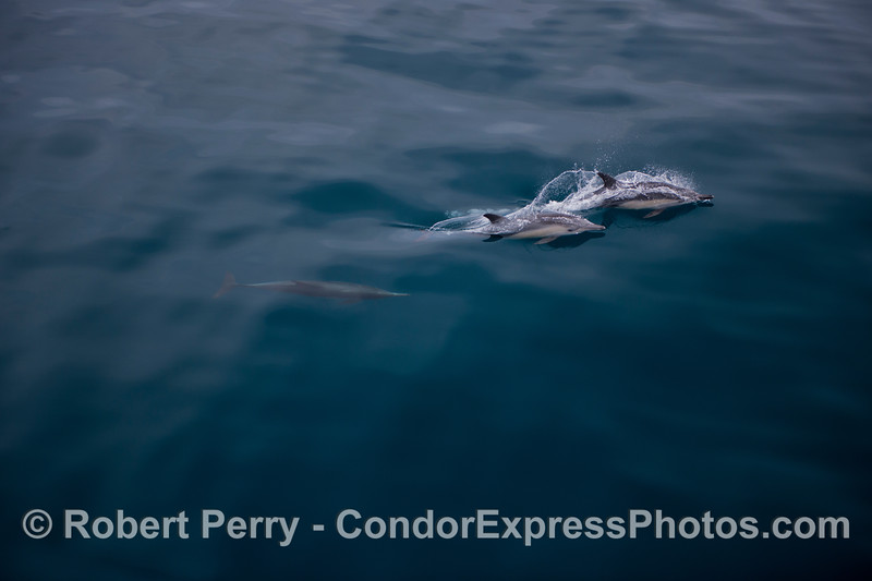 Long-beaked common dolphins (<em>Delphinus capensis</em>) on a mill pond flat sea.