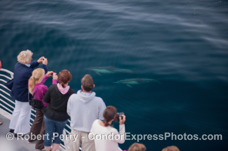 Cameras click as two long-beaked common dolphins (<em>Delphinus capensis</em>) come in close for a look.
