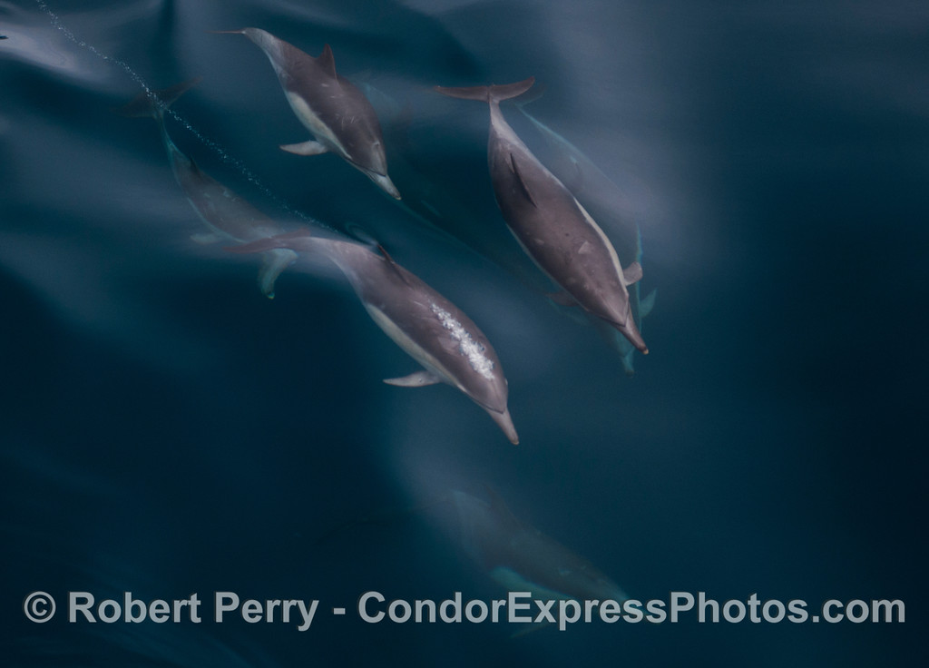 Long-beaked common dolphins (<em>Delphinus capensis</em>), and one emits a long bubble stream.