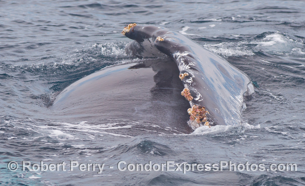 The humpback whale (<em>Megaptera novaeangliae</em>) named Rope rolls over and shows us her long pectoral fin.