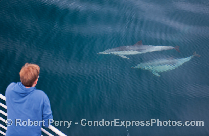 Two long-beaked common dolphins (<em>Delphinus capensis</em>) pay a friendly visit to the Condor Express.