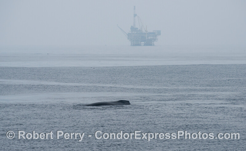 A humpback whale (<em>Megaptera novaeangliae</em>) with an offshore oil platform in the background.