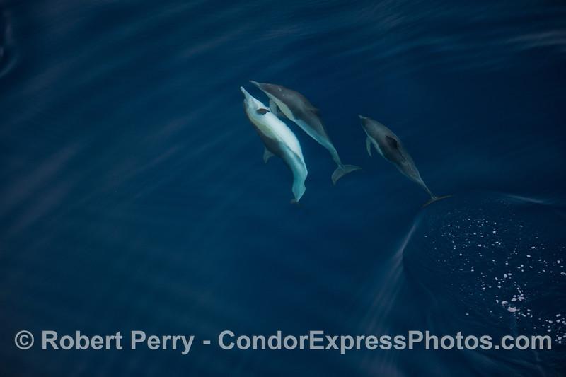 Delphinus capensis 2012 09-26 SB Channel-a-033