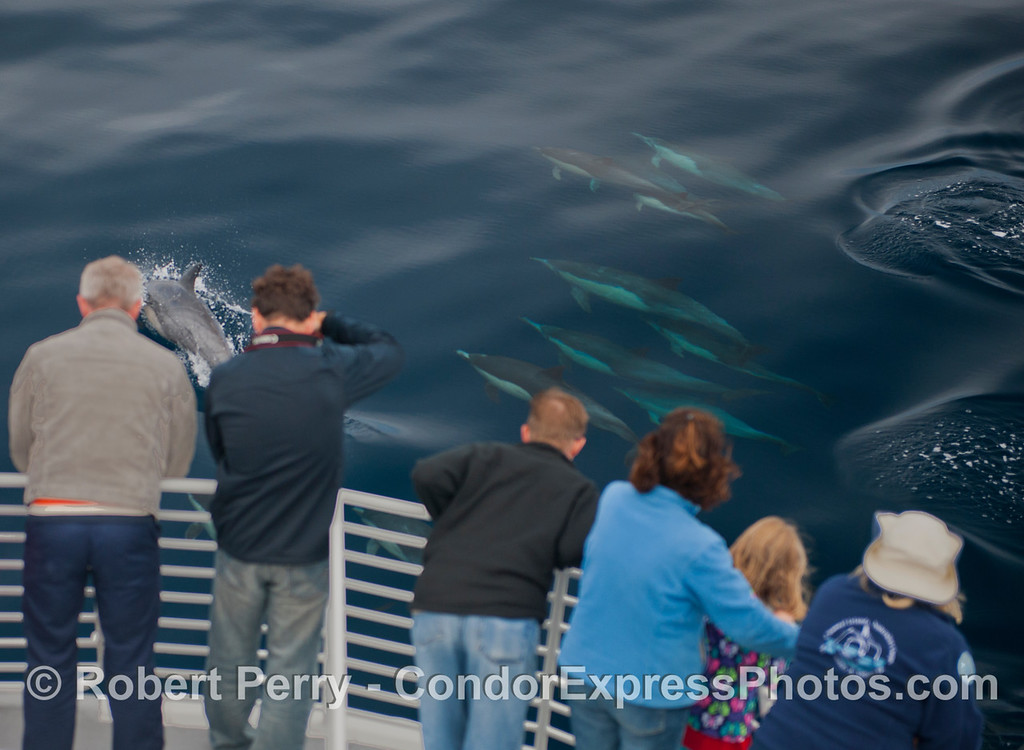 Delphinus capensis 2012 09-26 SB Channel-a-114
