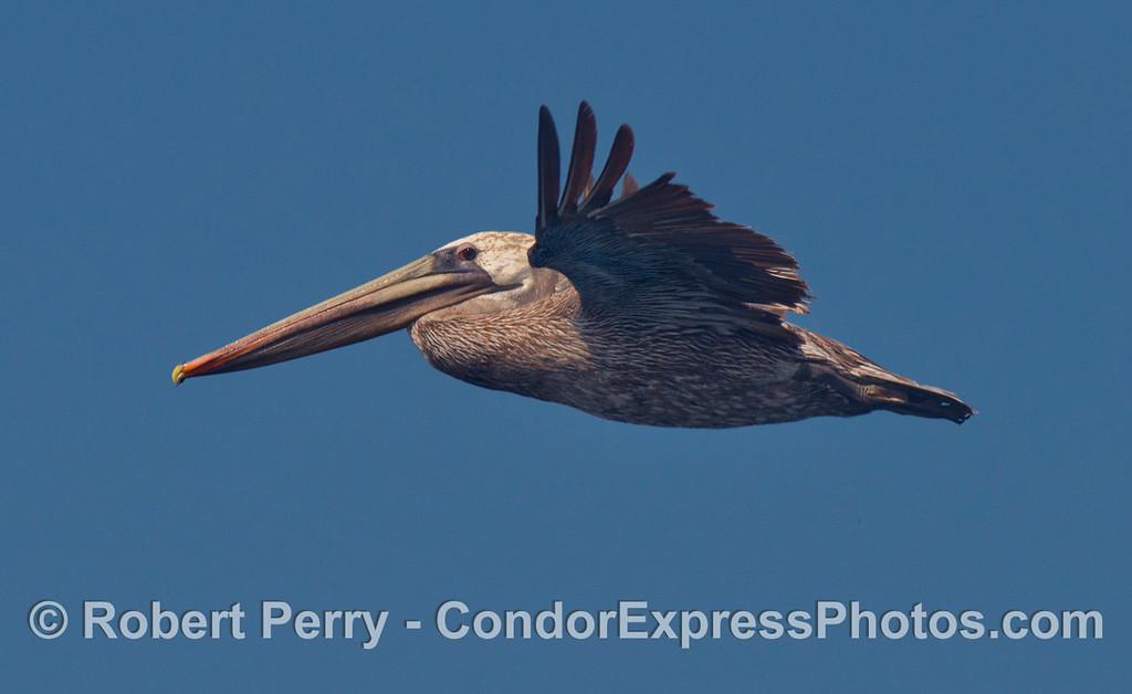 Pelecanus occidentalis in flight 2012 09-26 SB Channel-d-016