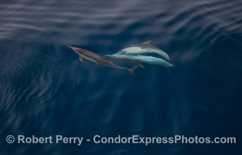 Delphinus capensis 2012 09-26 SB Channel-a-042