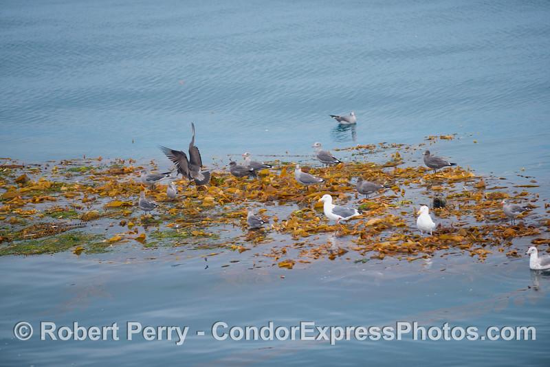 Phoca vitulina and Larus on Macrocystis paddy 2012 09-26 SB Channel - 001