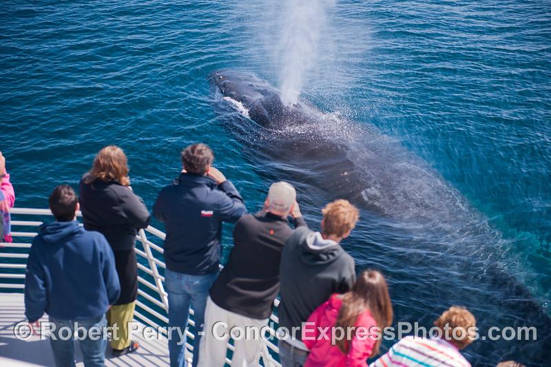 Megaptera novaeangliae & passengers CLOSE 2012 09-26 SB Channel-g-013