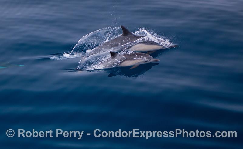 Delphinus capensis cow and calf 2012 09-26 SB Channel-a-096