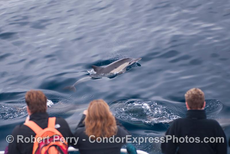 Delphinus capensis 2012 09-26 SB Channel-f-009