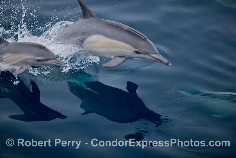 Delphinus capensis 2012 09-26 SB Channel - 004
