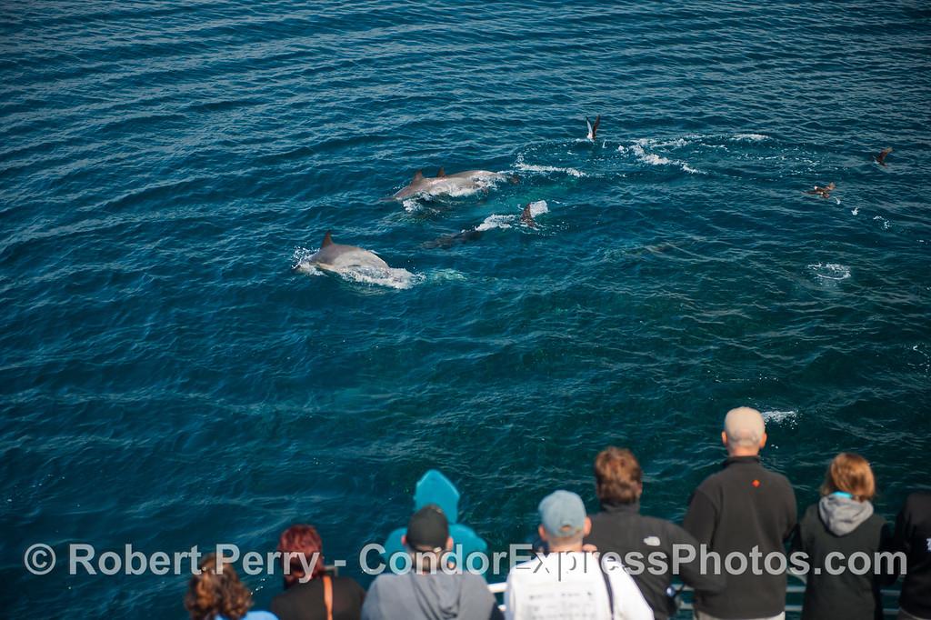Delphinus capensis & Engraulis mordax 2012 09-26 SB Channel-f-001