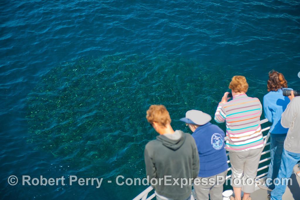 Delphinus capensis & Engraulis mordax 2012 09-26 SB Channel-f-007
