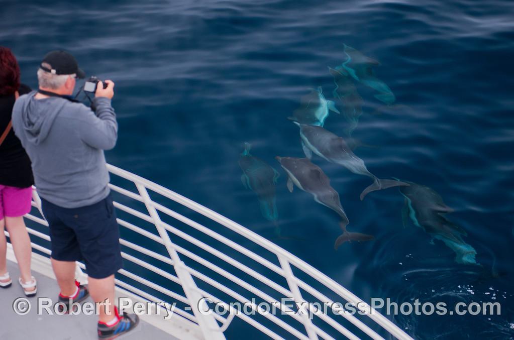 Delphinus capensis 2012 09-26 SB Channel-f-029