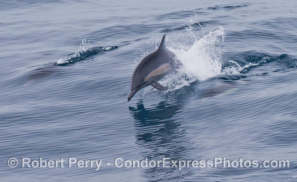 Delphinus capensis 2012 09-26 SB Channel - 031