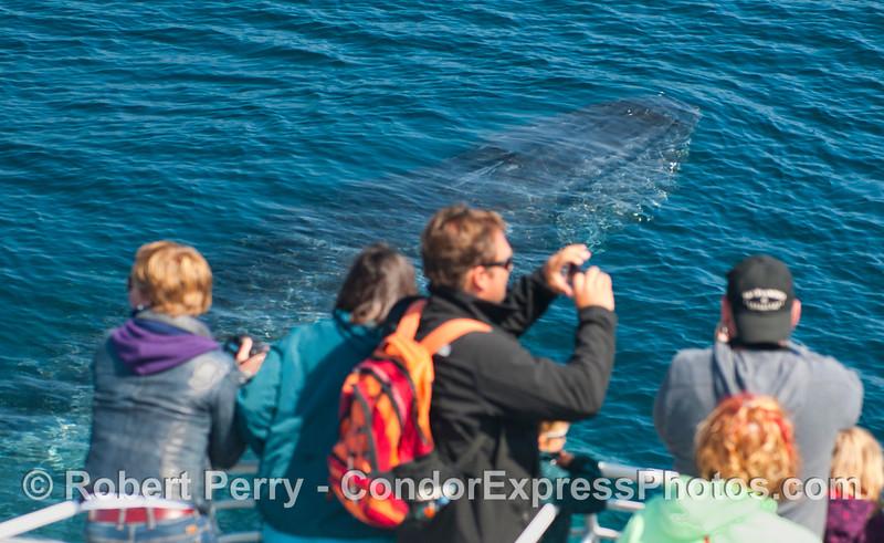 Megaptera novaeangliae & passengers CLOSE 2012 09-26 SB Channel-g-022