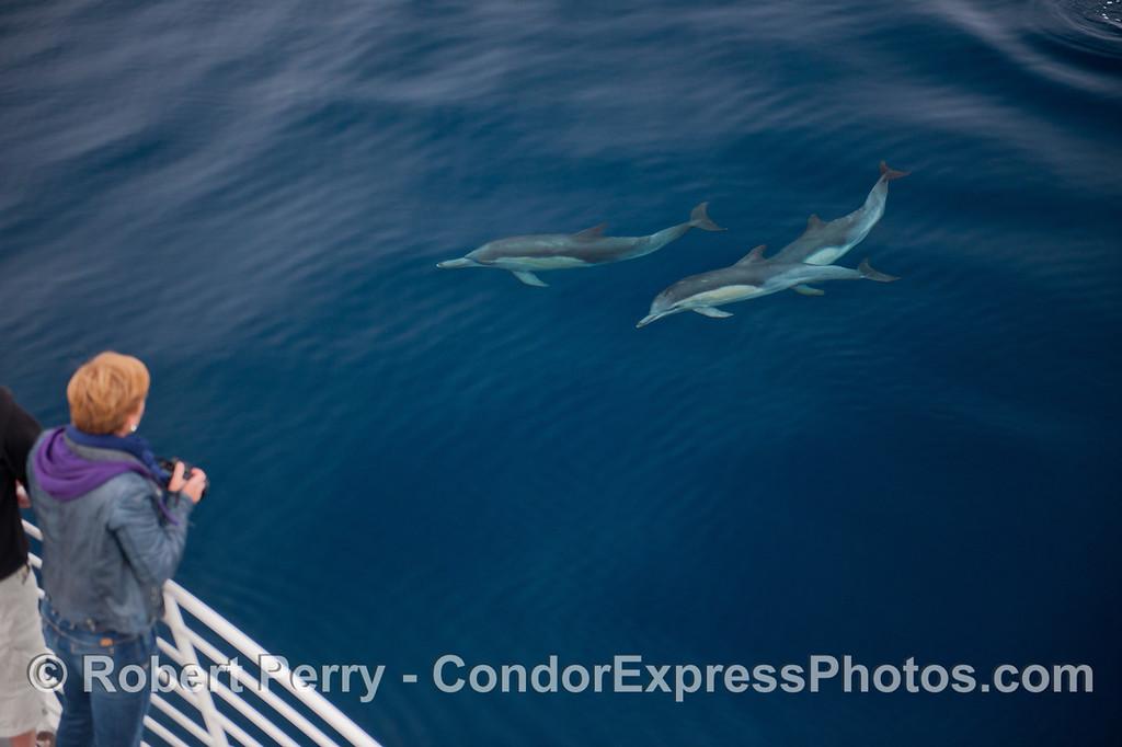 Delphinus capensis 2012 09-26 SB Channel-a-017