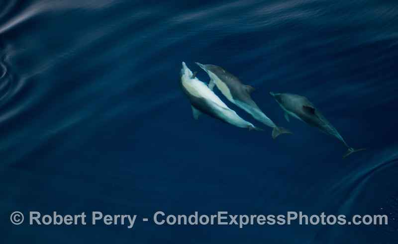 Delphinus capensis 2012 09-26 SB Channel-a-034