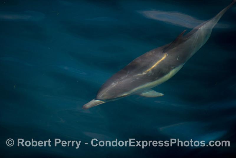 Delphinus capensis 2012 09-29 SB Channel-017