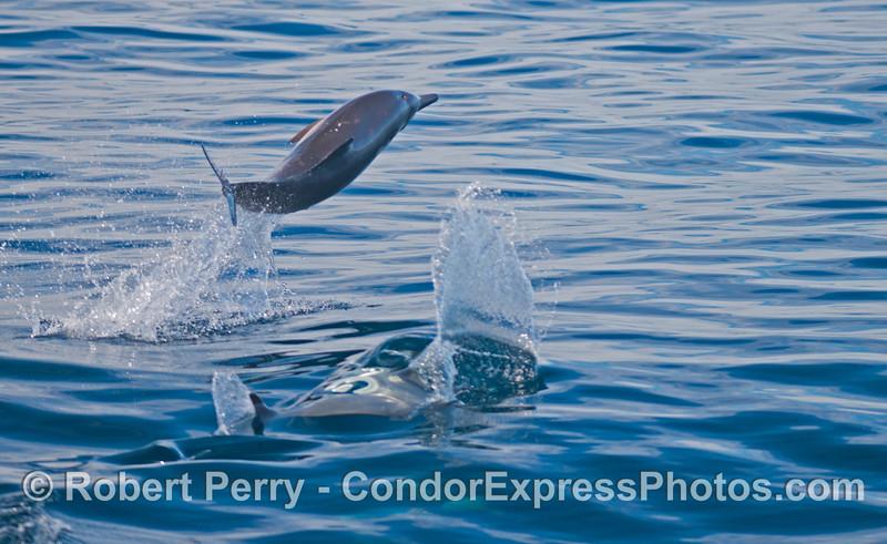 Delphinus capensis 2012 09-29 SB Channel-002
