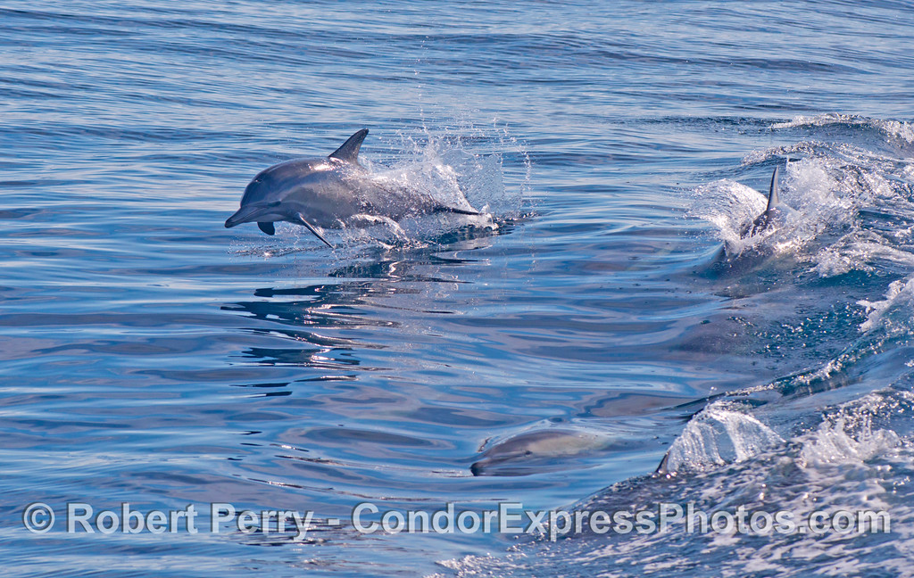 Delphinus capensis 2012 09-29 SB Channel-030