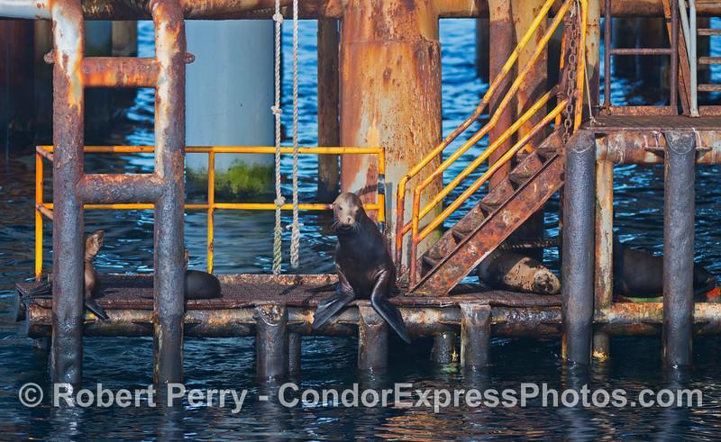 Zalophus californianus on Platform Holly 2012 09-29 SB Channel-c-006