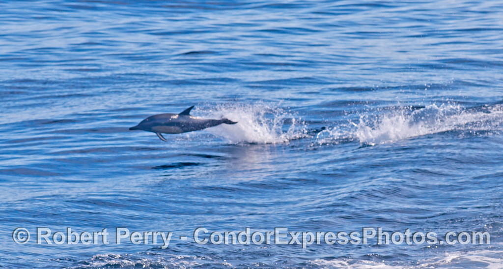 Delphinus capensis 2012 09-29 SB Channel-033
