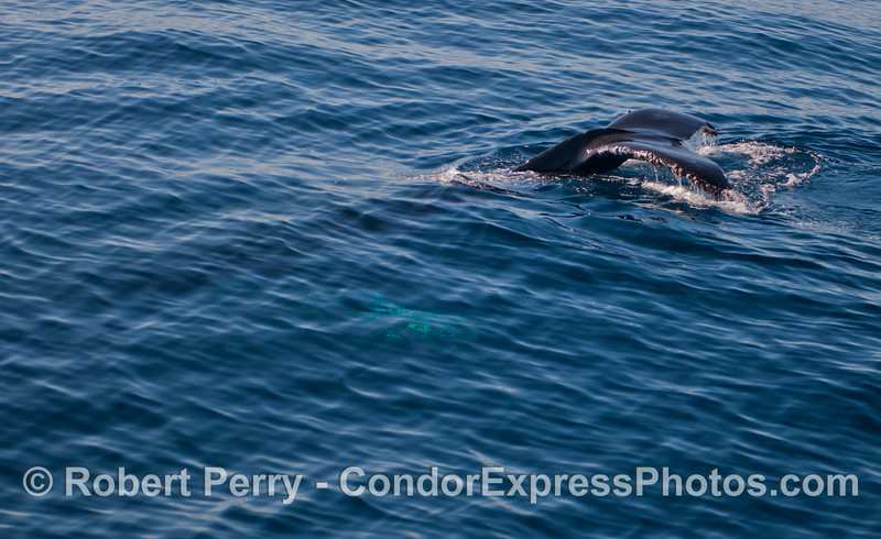 A Humpback whale (<em>Megaptera novaeangliae</em>) starts a deep dive.  The glow of a large pectoral fin is seen below the surface.