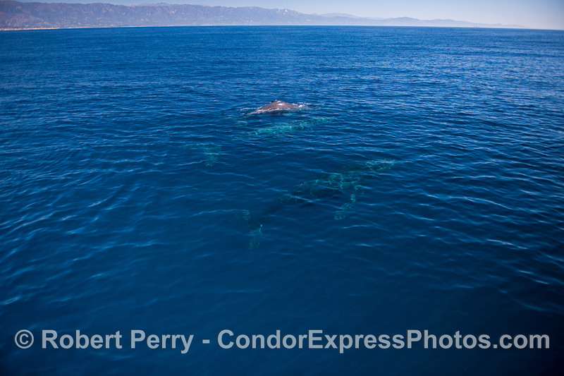 Three Humpback whales (<em>Megaptera novaeangliae</em>) in blue water with the Monticeto and Summerland coast in the background.