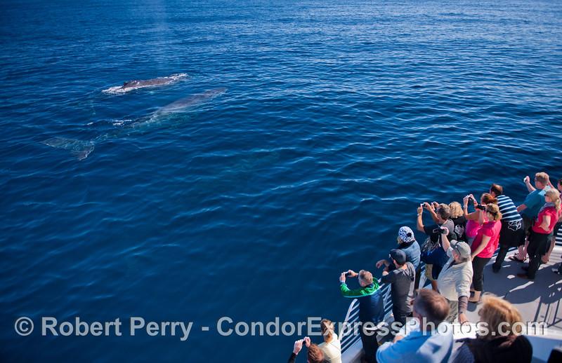 Humpback whales (<em>Megaptera novaeangliae</em>) in blue water.