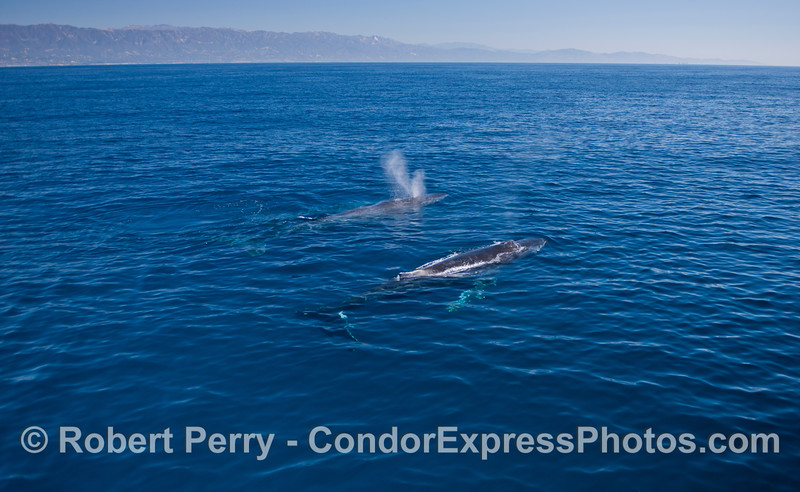 Two Humpback whales (<em>Megaptera novaeangliae</em>) with the Santa Ynez mountains in the background.