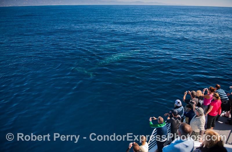 Humpback whales (<em>Megaptera novaeangliae</em>) under the blue water.