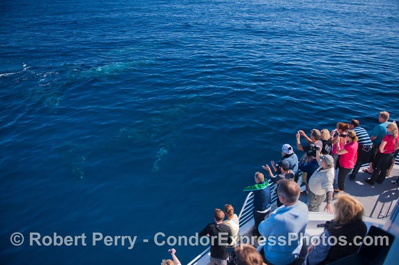 Three Humpback whales (<em>Megaptera novaeangliae</em>) under the water.