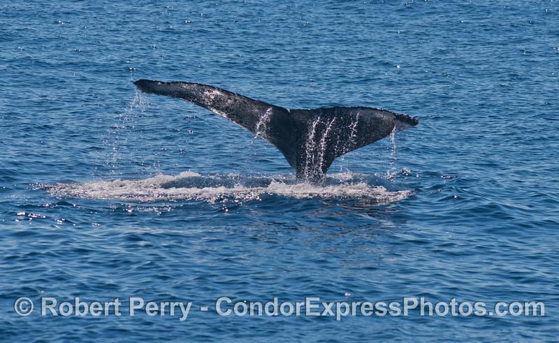 Tail fluke waterfall of a diving Humpback whale (<em>Megaptera novaeangliae</em>).
