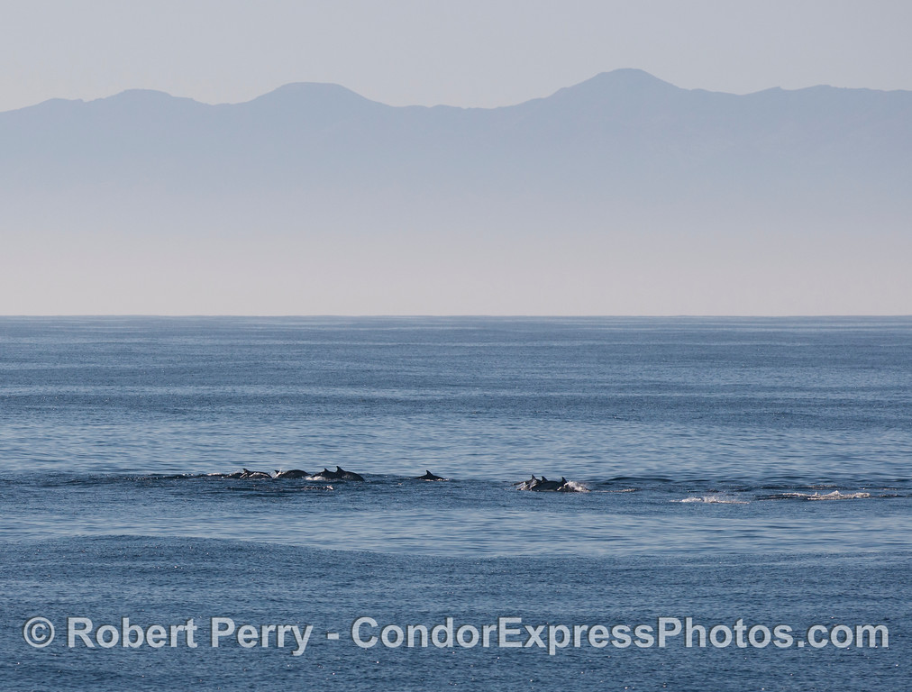 A herd of long beaked common dolphins (<em>Delphinus capensis</em>) with Santa Cruz Island in the background.