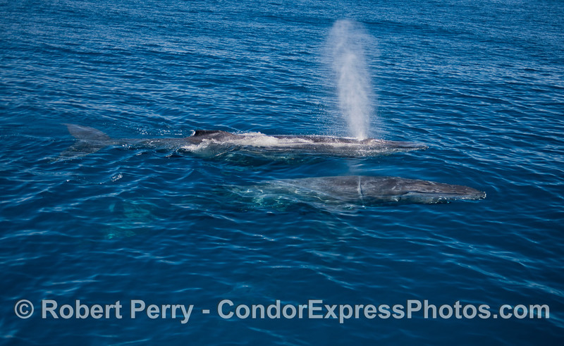"""Two Humpback whales (<em>Megaptera novaeangliae</em>) in blue water, the nearest whale is our friend """"Rope."""""""