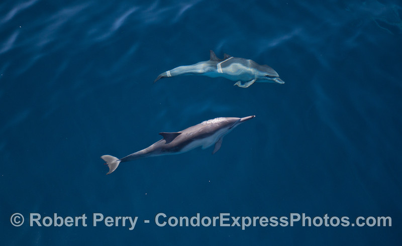 Very blue, clear water and two long beaked common dolphins (<em>Delphinus capensis</em>).