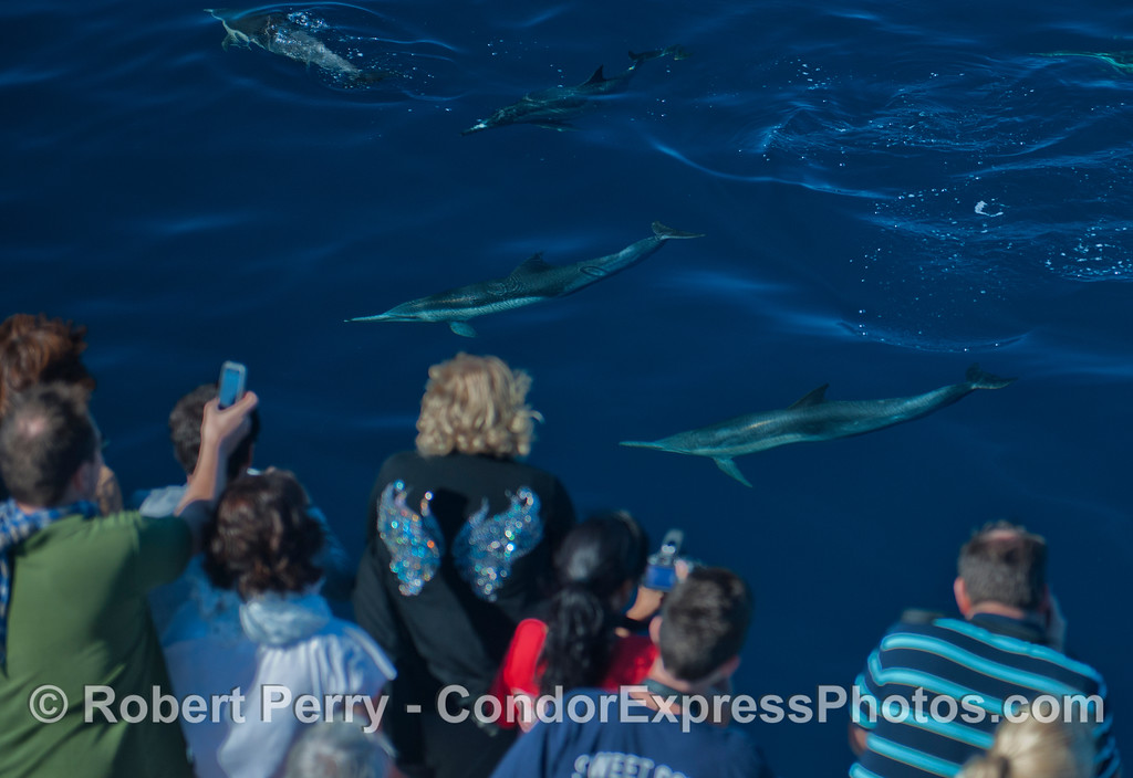 Friendly long beaked common dolphins (<em>Delphinus capensis</em>) pay a visit to the Condor Express.