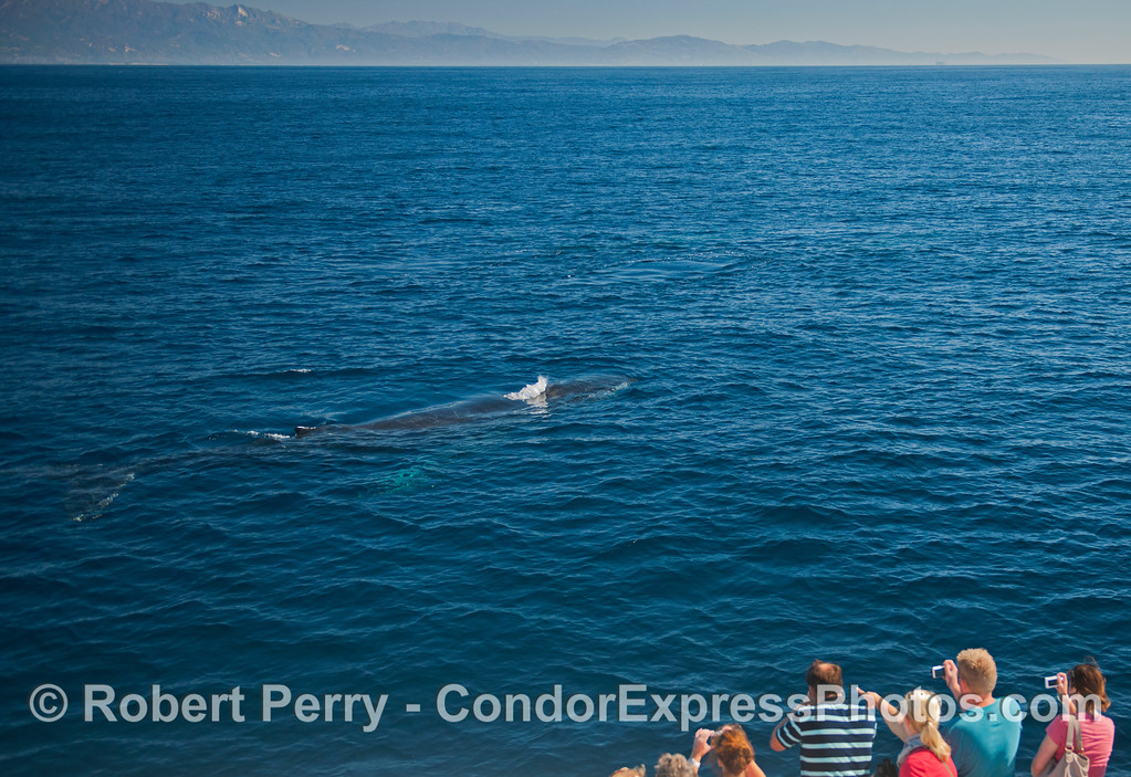 A friendly Humpback whale (<em>Megaptera novaeangliae</em>) comes up close to the Condor Express.
