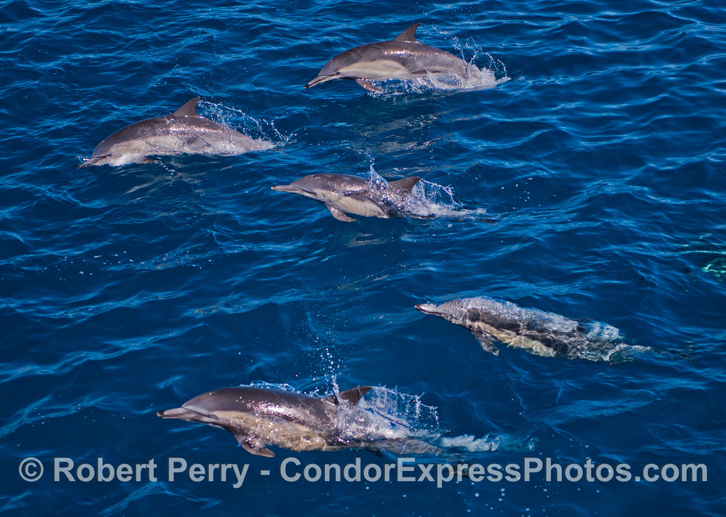Five long beaked common dolphins (<em>Delphinus capensis</em>).