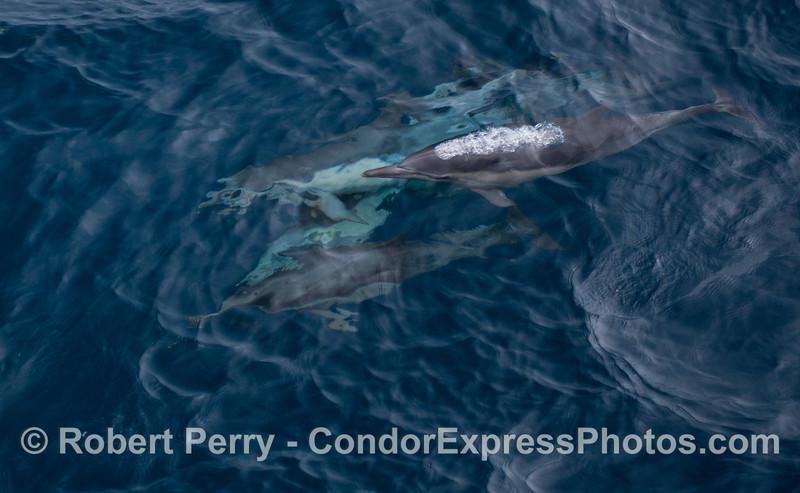 Long-beaked common dolphins (<em>Delphinus capensis</em>).