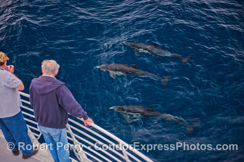 Long-beaked common dolphins (<em>Delphinus capensis</em>) take a look at the Condor Express people.