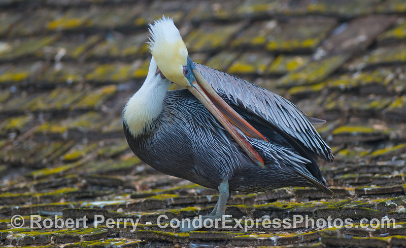 Grooming made easy with a long beak:  Brown Pelican (<em>Pelecanus occidentalis</em>) on the roof of Sea Landing in Santa Barbara Harbor, home of the Condor Express.